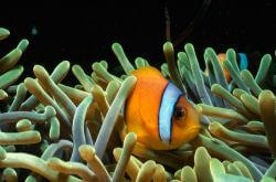 Heteractis magnifica avec Amphiprion bicinctus en Mer Rouge