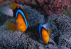 Stichodactyla mertensii avec Amphiprion chrysopterus