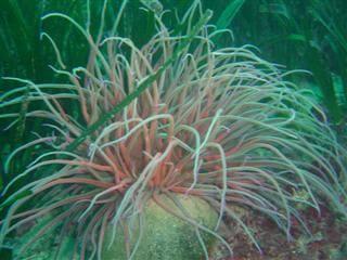 Anemonia sulcata viridis